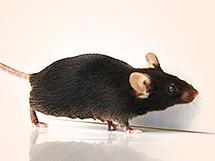 CRISPR-Pro Knock-Out / Konck-In 마우스