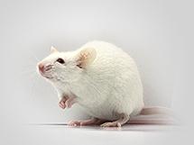 CRISPR-Pro Knock-Out / Konck-In Rat