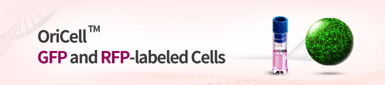 형광 라벨 세포