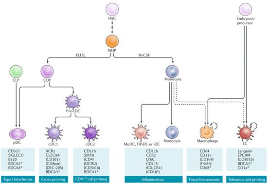 DC 서브세트 및 관련 혈통 | Cyagen Korea